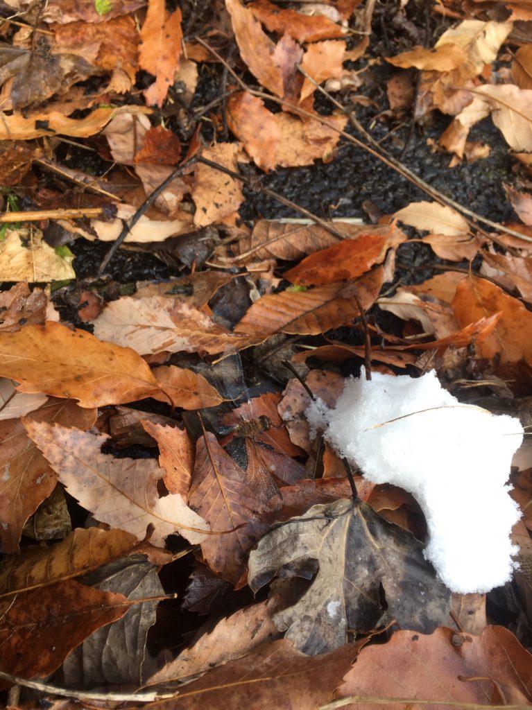 雪が降っていてもトンボは生きてる?