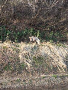 img 7119 225x300 - 湯沢町では特別天然記念物のカモシカが沢山いる?