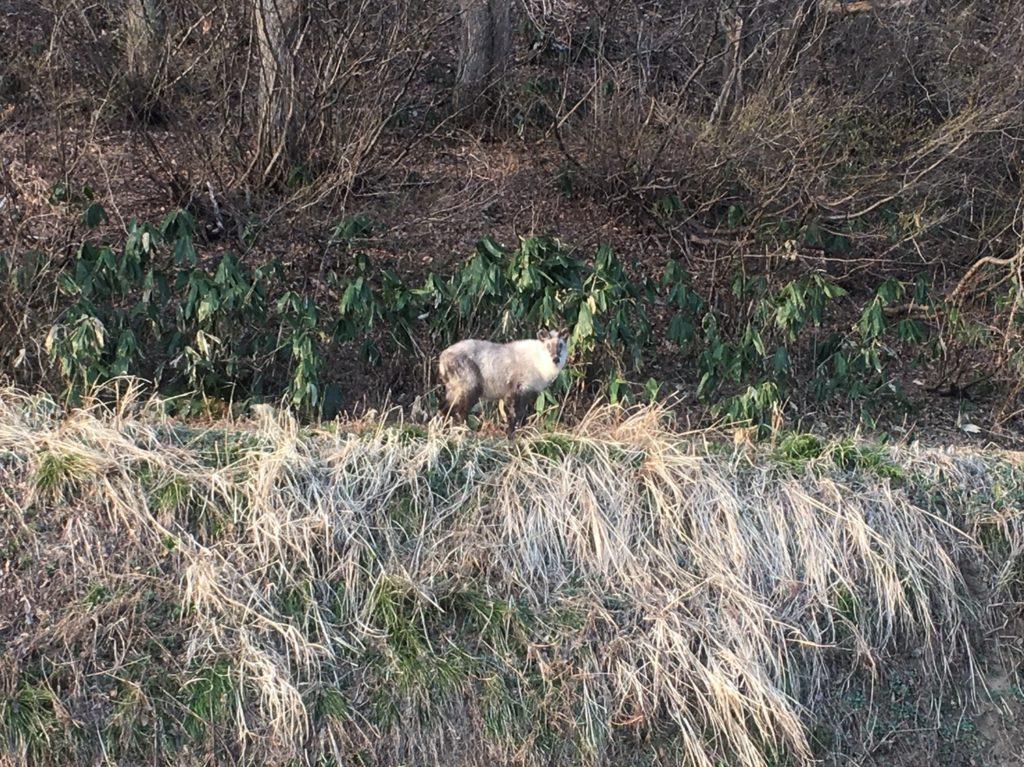 湯沢町では特別天然記念物のカモシカが沢山いる?