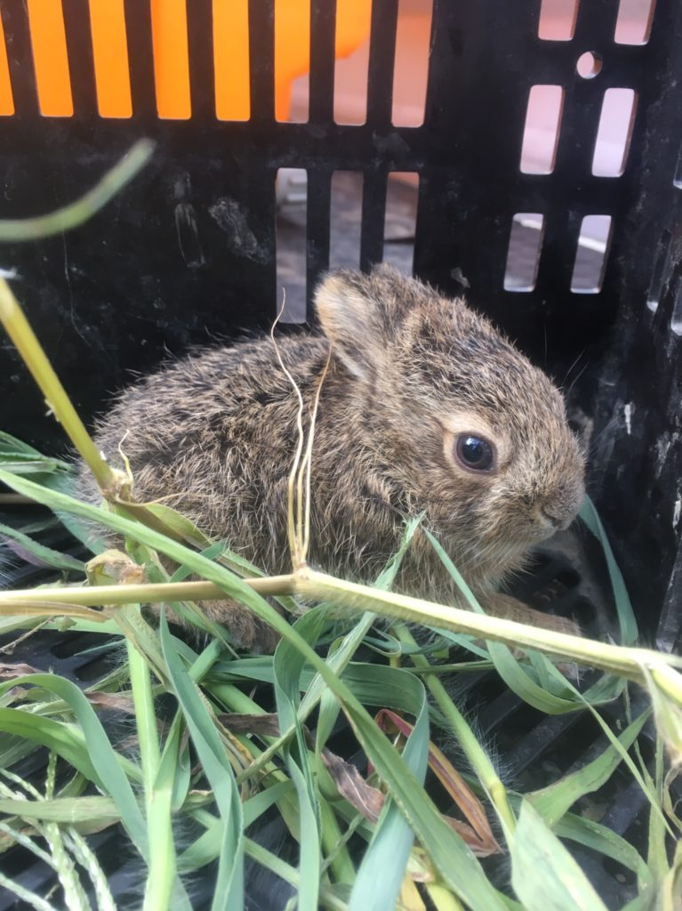 Grandfather of the village caught a wild rabbit