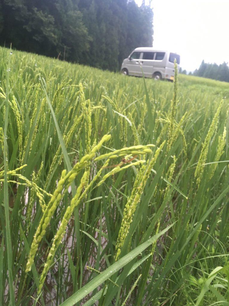 2018年度自然農法の田んぼ