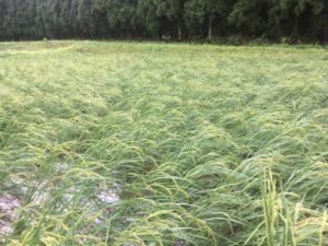 img 9773 300x225 - 台風の影響で稲が倒れる?