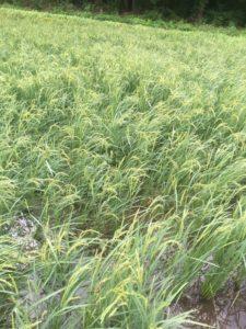 img 9808 225x300 - 台風の影響で稲が倒れる?