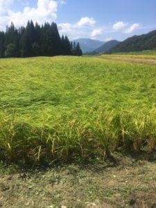 img 9811 225x300 - 台風の影響で稲が倒れる?