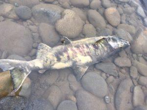 img 5713 300x225 - 魚野川には鮭がたくさん浮上する?