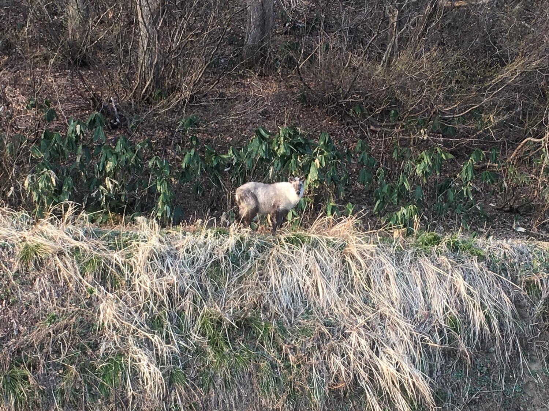 img 7121 - 湯沢町では特別天然記念物のカモシカが沢山いる?