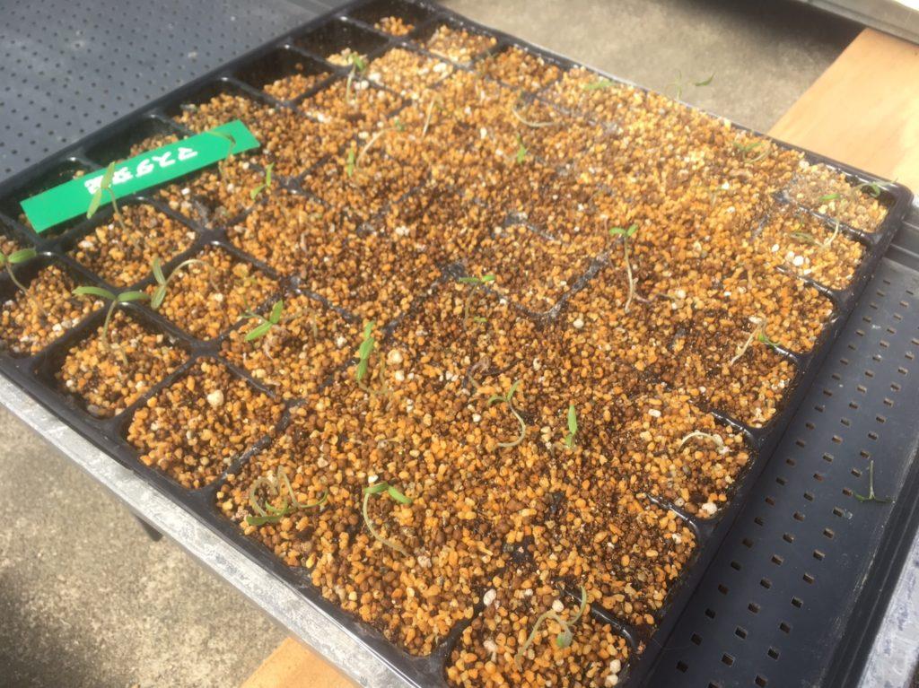 トマト&ネギのタネを植えて8日目