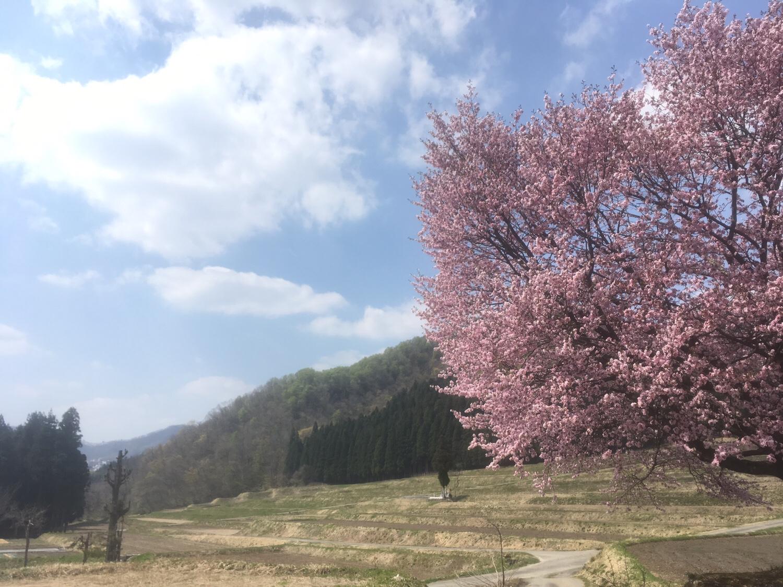 新潟県湯沢町の桜