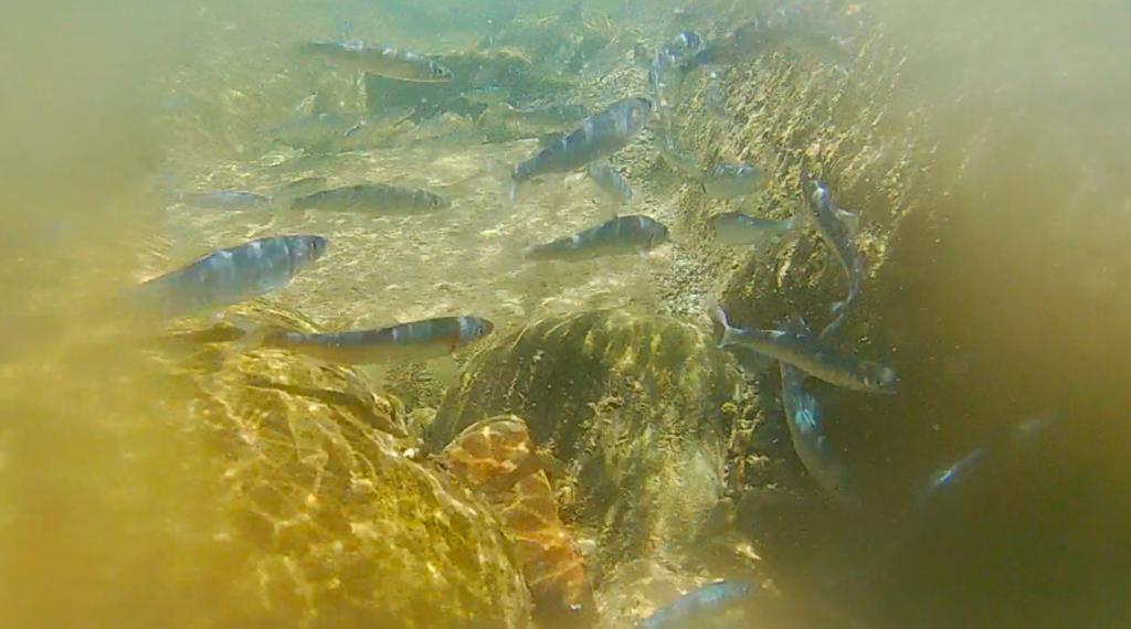 魚野川で鮎を放流